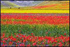 ...wonderland... (zio.paperino) Tags: travel italien flowers red italy panorama flower color nature fleur colors yellow landscape geotagged rouge nikon europa europe italia natura giallo poppy poppies fiori rosso perugia umbria papaveri norcia 80200 castelluccio naturesfinest d90 thegalaxy ziopaperino mygearandme mygearandmepremium mygearandmebronze mygearandmesilver mygearandmegold mygearandmeplatinum mygearandmediamond ringexcellence flickrstruereflection1