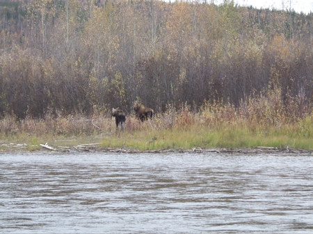 Moose calf and cow