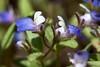 IMG_9499 (peter_r) Tags: blue white sticky wildflower trichome scrophularaceae collinsiarattanii stickyblueeyedmary