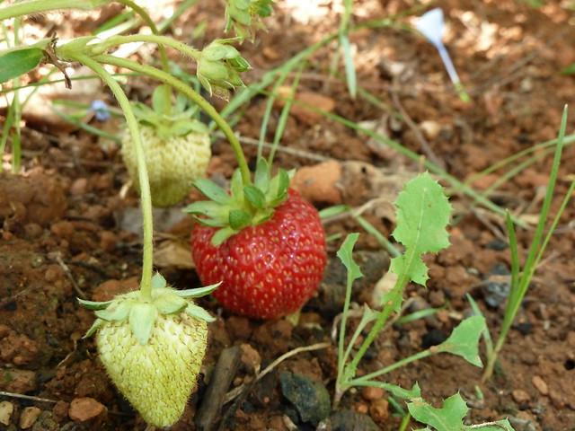 fresas blancas y rojas