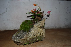 Bougainvillea Bonsai (Xtolord) Tags: bonsai potensai xtolord