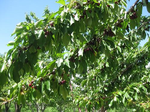 Cherry picking 2010