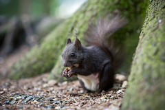 Squirrel (dk73) Tags: animal austria woods squirrel bokeh eating nuts animale bosco seefeld scoiattolo d700