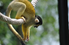 The Black-capped Squirrel Monkey (Jim Skovrider) Tags: nature animal denmark zoo monkey nikon sigma abe danmark dyr d90 saimiriboliviensis blackcappedsquirrelmonkey nikonsigma nikond90 reepark sigmaphoto apo150500mmf563dgoshsm 150500mmf563 150500mmf563apodgoshsm