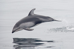 Pacific White-sided Dolphin (Jim Scarff) Tags: california usa wildlife montereybay places northamerica mammals pacificwhitesideddolphin marinemammals cetaceans odontoceti delphinidae lagenorynchusobliquidens
