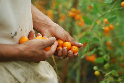 Sun sugar harvest