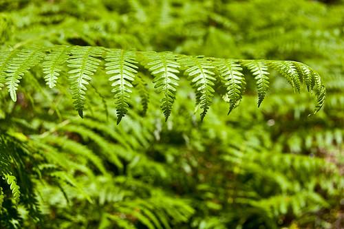 La verde inmensidad de los helechos en los montes de Valsaín