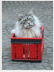 Maxwell in the box (1) (Jorbasa) Tags: pet animal cat germany deutschland spring hessen mainecoon maxwell katze kater tier kasten tomcat frhling kiste wetterau cc100 jorbasa blacksilverclassictabby