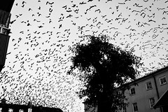 The Birds (crsan) Tags: bw white black birds movie scary sweden many flock lot alfred sverige crow hitchcock crows swarm loads fglar cinimatic krkor christianholmercom