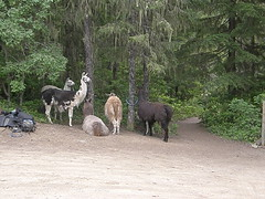 Tubal Cain trailhead parking. Llamas getting ready to take some girl scouts on a 3 day overnighter.