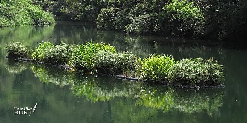 後慈湖:挺水性植物浮島