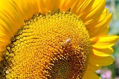 Girasole (francesco_43) Tags: yellow giallo girasole millefiori coth fiorigialli spiritofphotography bestpeopleschoice coolaward