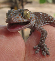 gecko on my fingers (michaelhaas75) Tags: bali baby animal mouth garden eyes klein hand reptile finger lizard climbing bite gecko sanur echse doigts  grimper  mordre  tierbaby