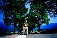 Summer! (moaan) Tags: dog corgi welshcorgi pochiko road treelinedroad dawnredwood metasequoia avenue smile alwayssmiling summer happysummer color hue green blue   leica mp leicamp minolta grokkor 28mm f28 minoltagrokkor28mmf28 fujivelvia100 rvp100 utata 2010 gettyimagesjapanq1 gettyimagesjapanq2