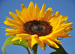 Zonnebloem en een blauwe hemel - Sunflower and a blue sky (RuudMorijn) Tags: blue sky yellow azul blauw blu himmel bluesky cu amarillo amarelo gelb giallo cielo sunflower di bunga lucht geel mavi girasole g hemel girasol skyblue biru blauer kuning langit sonnenblume zonnebloem gkyz matahari girassol sar trite tentacin pokusa cuazul  tentao  niebo albastru napraforg galben srga kk verleiding langitbiru tentazione floareasoarelui te ayiei cerul      blauwehemel  mavigkyz ksrts  kkg cersenin bkitne godaan ispita  sininentaivassininentaivaskeltainenauringonkukkataivas  sonecznika gnaha