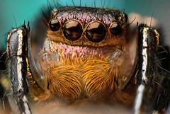 jumping spider -- Habronattus hallani (bugeyed_G) Tags: arizona nature nikon tucson 21 creative 20mm d200 moment jumpingspider potofgold reverselensmacro focusstack extensiontubes macroextreme phy