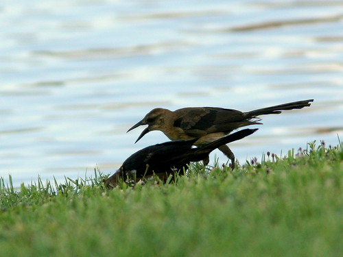 Boat-tailed Grackles 20100725