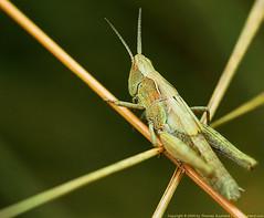 Grasshopper (Thomas Suurland) Tags: macro green closeup insect suurland thomassuurlandgrasshopper