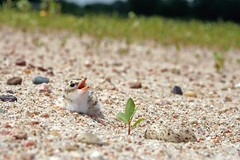 Interior Least Tern Chick & Unhatched Sibilings along the North Loup River