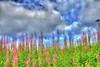 hdr11 (bjarne.stokke) Tags: norway canon norge extreme himmel 20mm juli hdr blomster skyer 2010 rogaland haugesund naturesfinest coth supershot ef20mmf28usm haraldsvang skeisvang platinumpeaceaward canoneosrebelt1i coth5 mygearandmepremium mygearandmebronze bouquet✿ aboveandbeyondlevel1 aboveandbeyondlevel2 aboveandbeyondlevel3