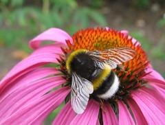 Be(e) Happy! (langkawi) Tags: pink summer orange flower macro insect echinacea bumblebee coneflower langkawi hummel naturesfinest pupursonnenhut