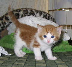 Scruffy (whaas987) Tags: cats kittens cutekitten beautifulkitten