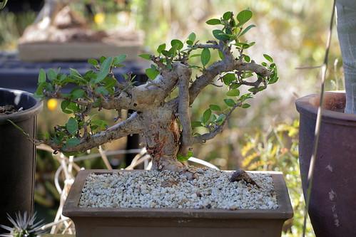 Bursera simplifolia