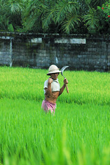 Harvesting Rice in Ubud (cwgoodroe) Tags: bali chicken blanco birds museum indonesia dancers rice feathers statues peacock carvings patties ubud legong paddies padies