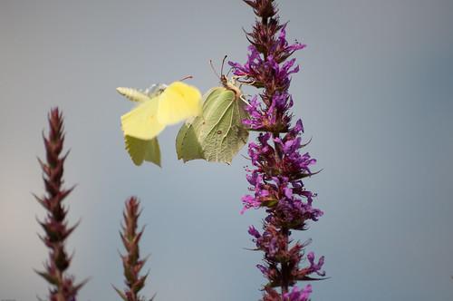 Fjärilsflykt