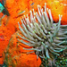 Sea Anemone in Cozumel Mexico by Ryan Moore-underwater category-shot with IC10 and ISS2000