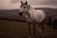 holcombe horse (Mycatkins) Tags: old england copyright horse white film mike digital canon manchester photography bury d united kingdom professional 80s bolton faux atkins greater radcliffe effect solemn holcombe 500d mikeatkins bigmikeyeah mikeatkinsphotography photographersfrommanchester manchesterphotographers photographersbasedinmanchester