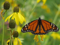 For my friend, Curt (Laramie_Coyote) Tags: nature butterfly explore monarch flickrsilver lakemetroparks flickrbronze penitentiaryglenreservation femalemonarch damniwishihadtakenthat naturespotofgold printedalready pogchallengewinners bestofdamn mygearandme mygearandmepremium mygearandmebronze mygearandmesilver mygearandmegold meandmygearpremium meandmygearbronze mygearandmeplatinum mygearandmediamond meandmygearplatinum meandmygeargold poglevel2 btglevel2 btglevel1 btglevel3 btglevel4 rainbowelite poglevel1 allharts
