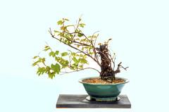 Wild Grape Bonsai