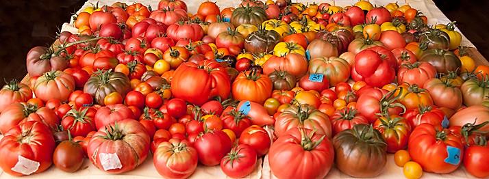 oogst tomaten augustus