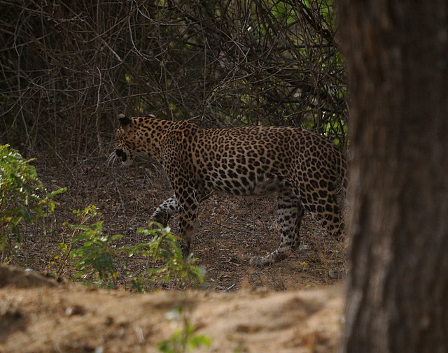 leopard1A