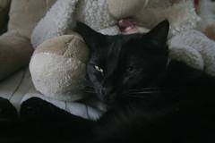 Watchful (Brett A. Fernau) Tags: pet cat blackcat hedge deadeyebart brettfernau c5d