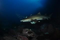 SWRAUG2010 007 (Custom) (AussieByron) Tags: fish rock southwestrocks swr gns greynurseshark tokina1017mm nikond90 aquaticahousing wwwsouthwestrocksdivecentrecomau