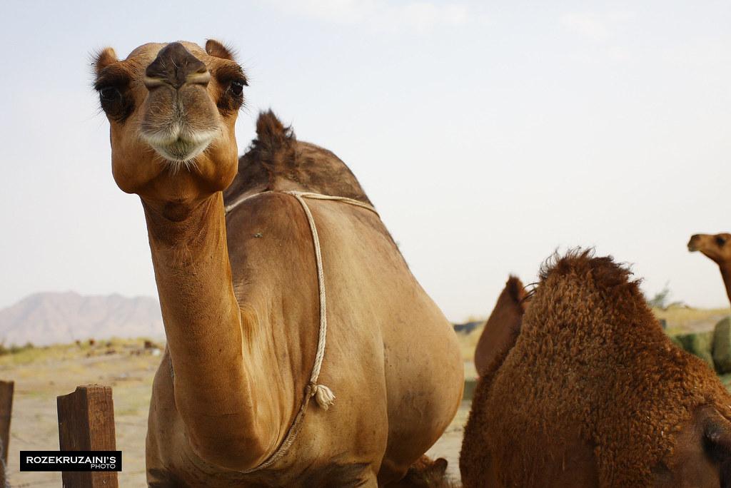Camel Staring