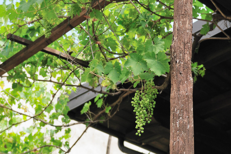 Grapes on the Property