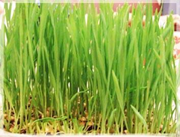小麥,小麥胚芽,小麥芽,小麥草,小麥草汁,生機飲食,增強記憶,幫助睡眠,馨舞極,美容spa
