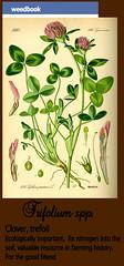 trifolium_card