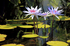 Water Lilies (Lucie Maru) Tags: flowers blue red summer flower reflection water leaf pond waterlily lily reflect lilies flowering buds lilypads float pedal comopark waterreflection reflectioninwater onthewater threeflowers lekniny