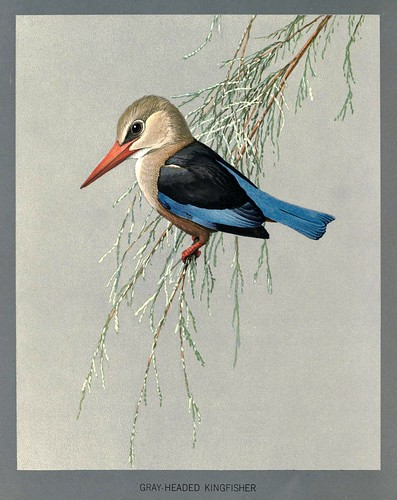 009-martín pescador de cabeza gris-Album of Abyssinian birds and mammals 1930- Louis Agassiz Fuertes