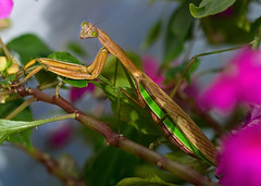 Green Eyed Lady (Uncle Phooey) Tags: flower macro closeup bug mantis insect explore missouri prayingmantis impatiens pestcontrol mantidae southwestmissouri greeneyedlady unclephooey
