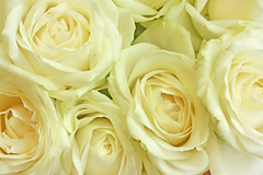 roses white (RoYaLHigHnEsS1) Tags: wallpaper white flower rose canon blossom