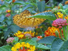 More Butterfly. #.. (tyro5) Tags: red nature yellow butterfly garden gold spot