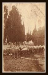 Montauto. Pecore di Renzo, Luglio 1910 (MARCO_QUARANTOTTI) Tags: