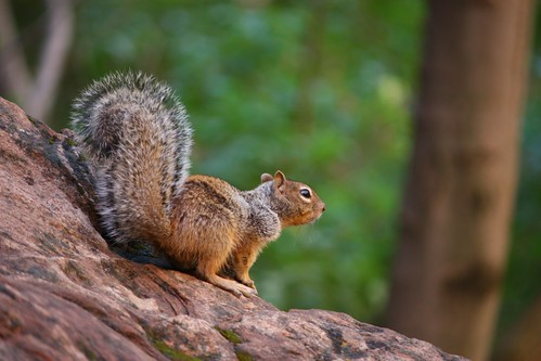 Squirrel in Zion