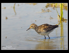 Long-toed Stint (Rey Sta. Ana) Tags: wild white bird eye heron birds photography bay ana pics wildlife low philippines flock ducks rail kites manila rey land birdsinflight subic coron eagles dinosaurs waders cuckoo avian sta waterbirds bif palawan eastwood sunbird shrike philippine wildbirds bestshots ternate drongo mantarey coucals candaba staana avianphotography midoro 672178186 923681625 360351256 596691615 philippinebirds reysa bestimages philippinescenery birding2010 mtkalaonpark philippinebirdphotography reystaana