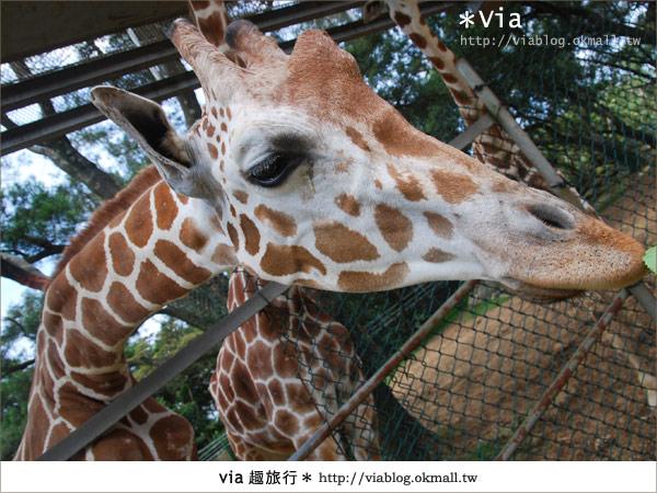 【關西六福莊】精彩秘探野生動物園/DIY手作/農趣樂~!44